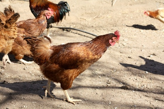 chickens, chicken coop, organic eggs, cooking school, health retreat, health spa, destination spa